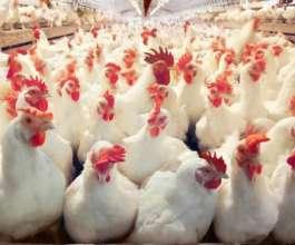 """اكتشف علماء روس، اليوم السبت، أول حالة عدوى بسلالة """"إتش 5 إن 8""""، من إنفلونزا الطيور إلى البشر."""