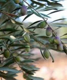 زراعة سلفيت توزع 2000 شجرة زيتون على مزارعي دير بلوط